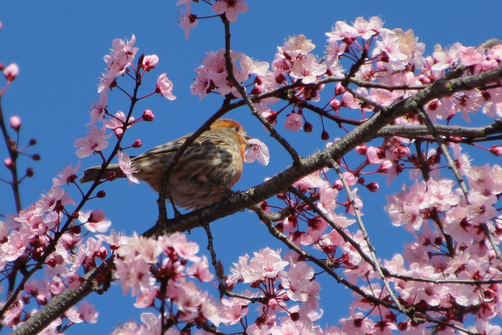 IMG_1578-house-finch-flowers-sm