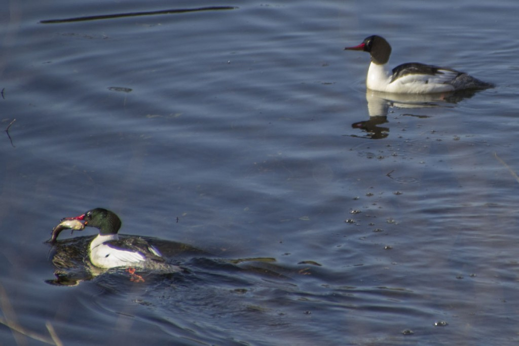 Common Merganser Catches a Fish