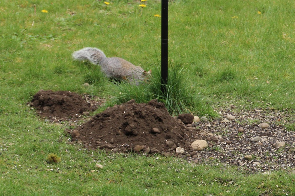 Mole Hills Under my Bird Feeder