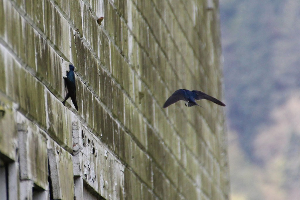 IMG_2204-tree-swallow