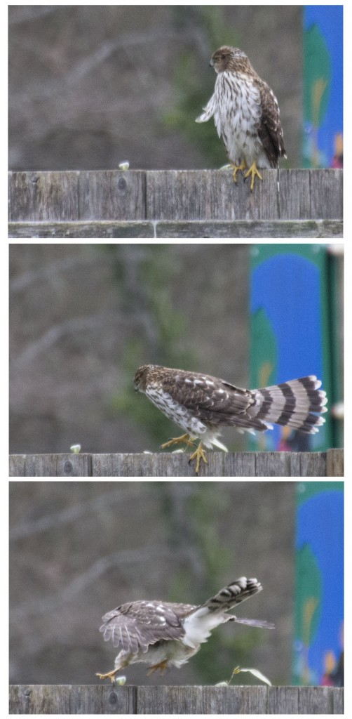 hawk fence jumping