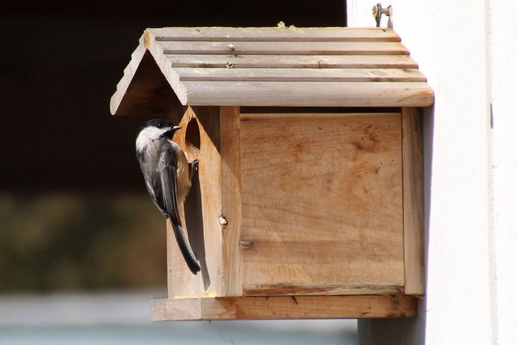 Chickadee on Nest Box