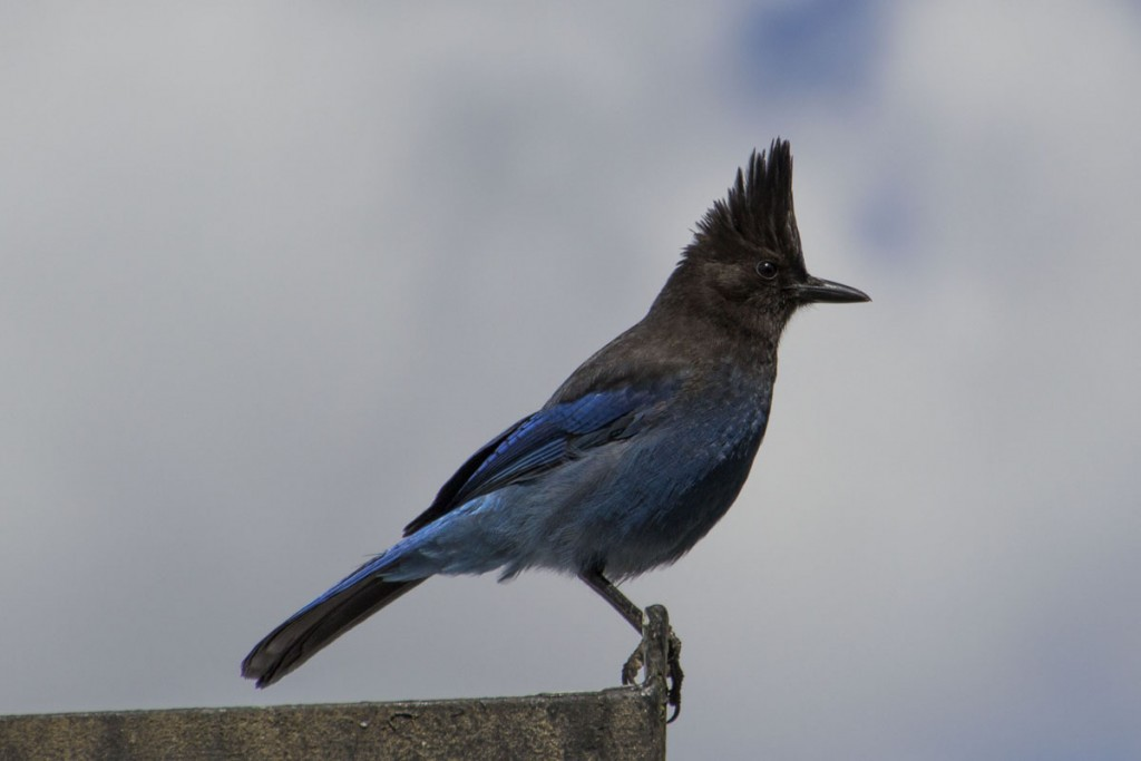 Our Stellar Jay Kevin