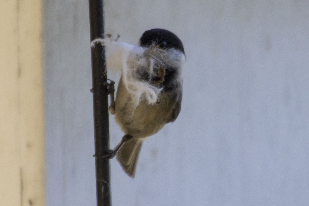 Black-capped Chickadee with White Fluffy Nesting Material
