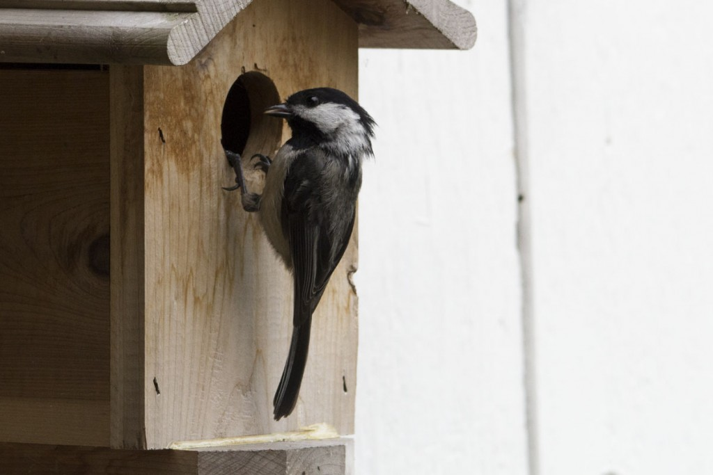 IMG_0682-chickadee-dad