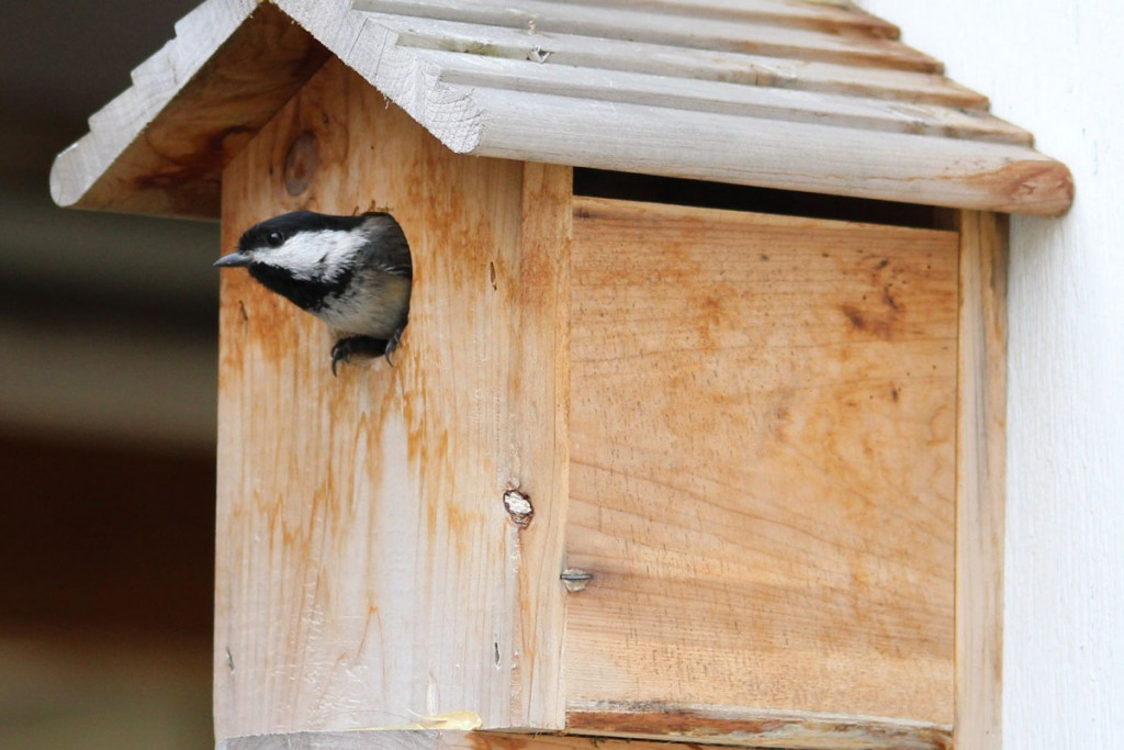 Chickadee Sticking his Head out of the Birdhouse