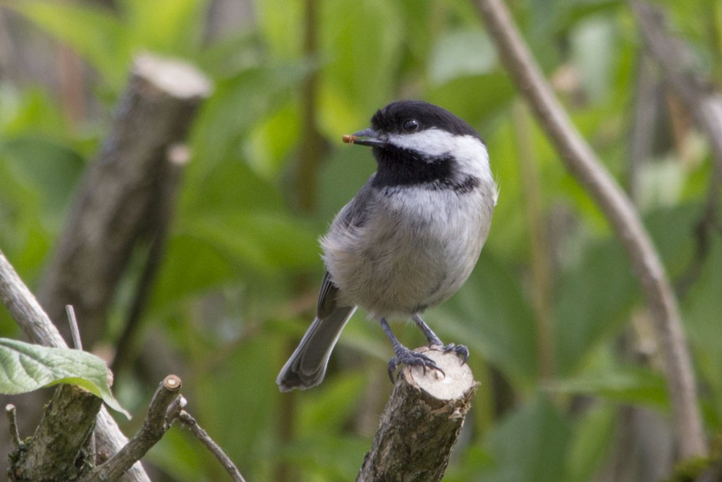 Black-Capped Chickadee with Spider