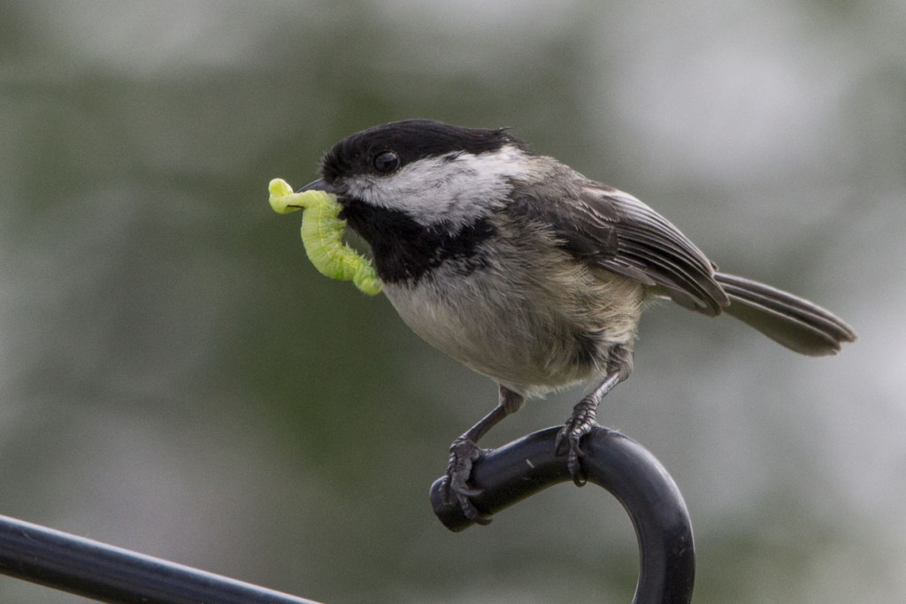 Black-Capped Chickadee with Caterpillar
