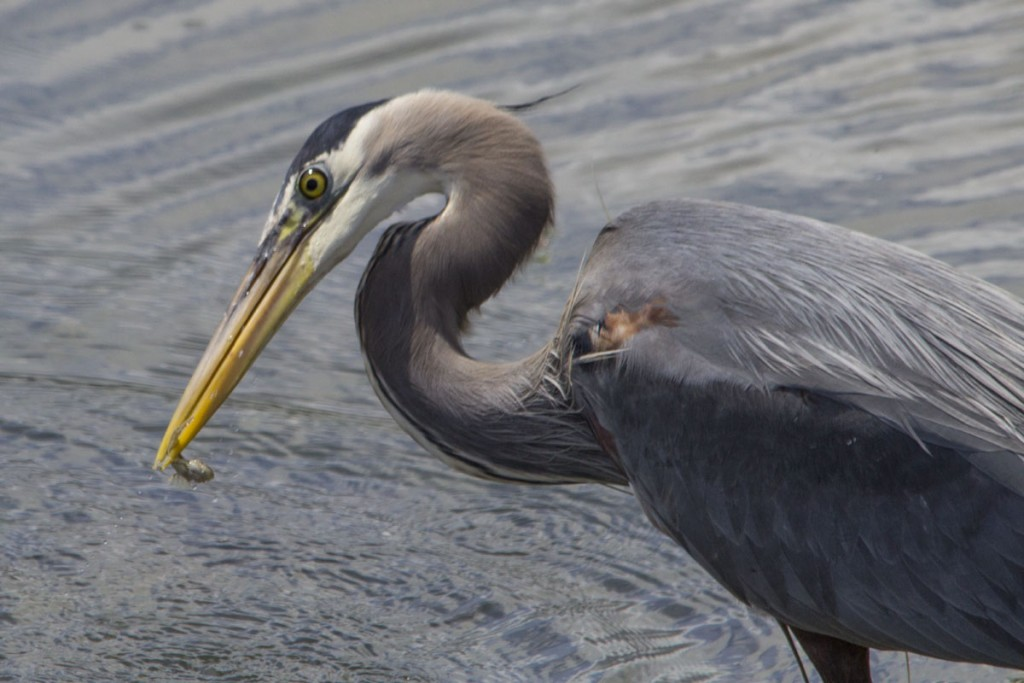 Blue Heron Fishing Success