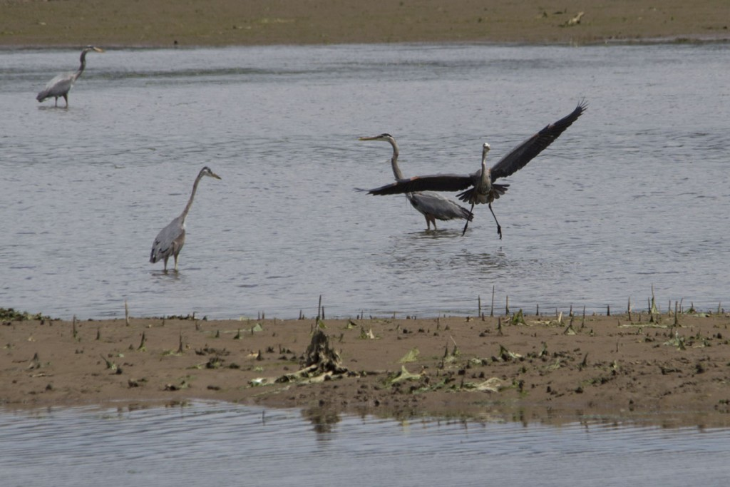 Blue Herons at Nisqually NWR Estuary