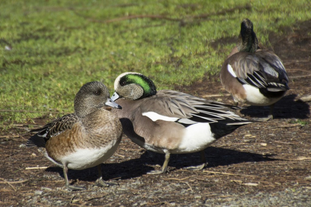 American Wigeons Cross Paths