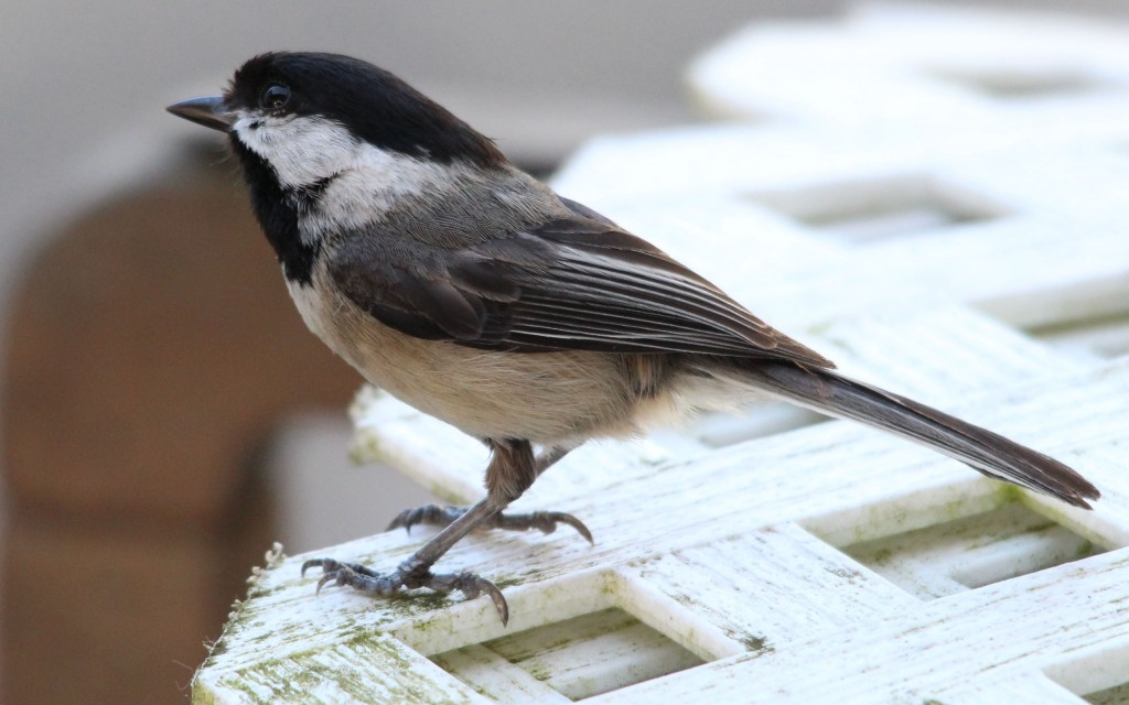 Adult Black-Capped Chickadeee