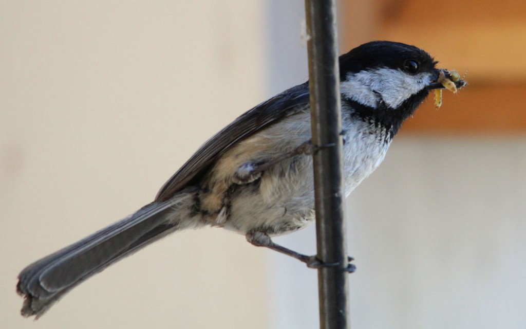 Black-Capped Chickadee with Food for his Nestling Baby