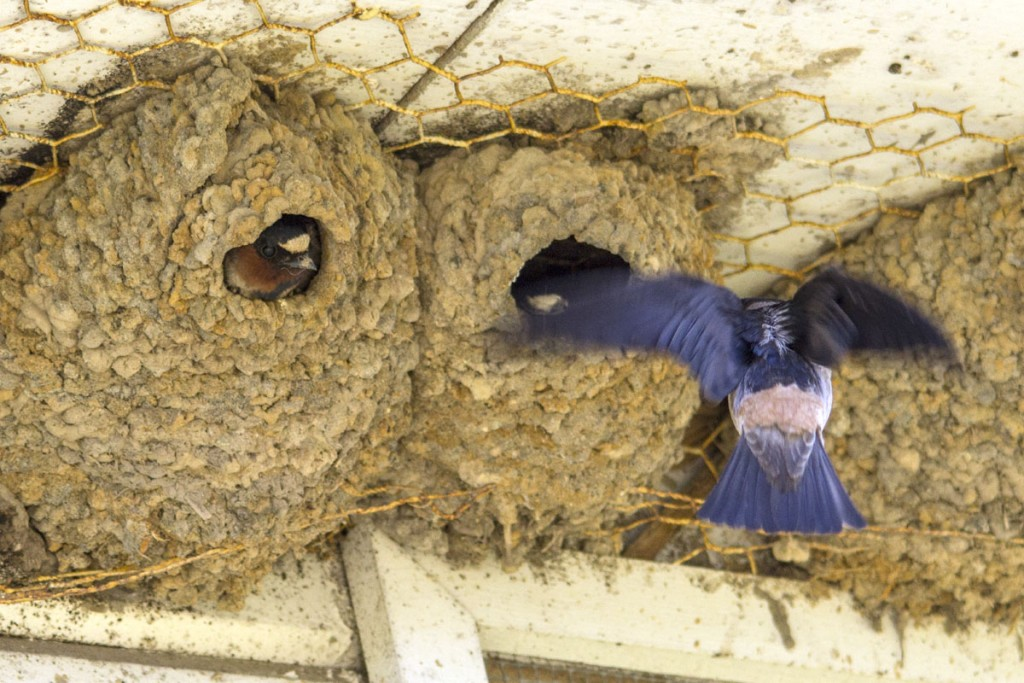 Cliff Swallows Nest on Twin Barns at Nisqually Wildlife Refuge
