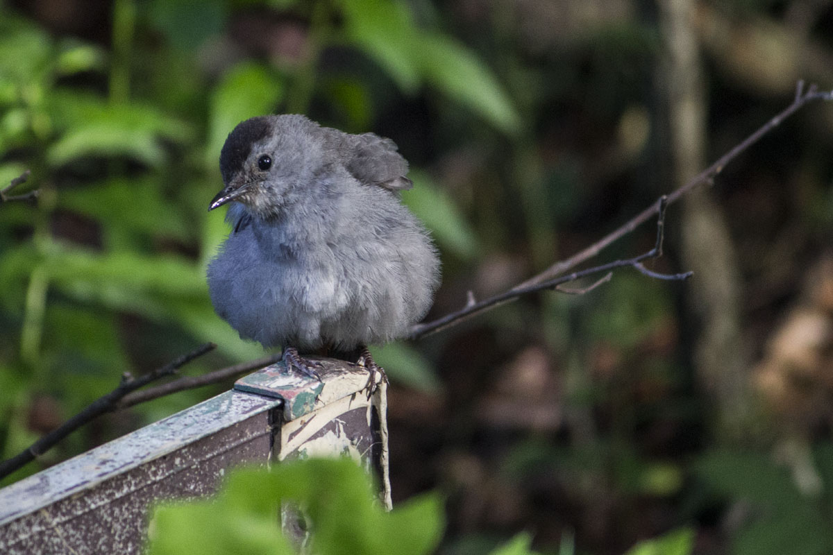 Gray Catbird Perched on a Tree in the Summer in Coniferous Woods of New York State