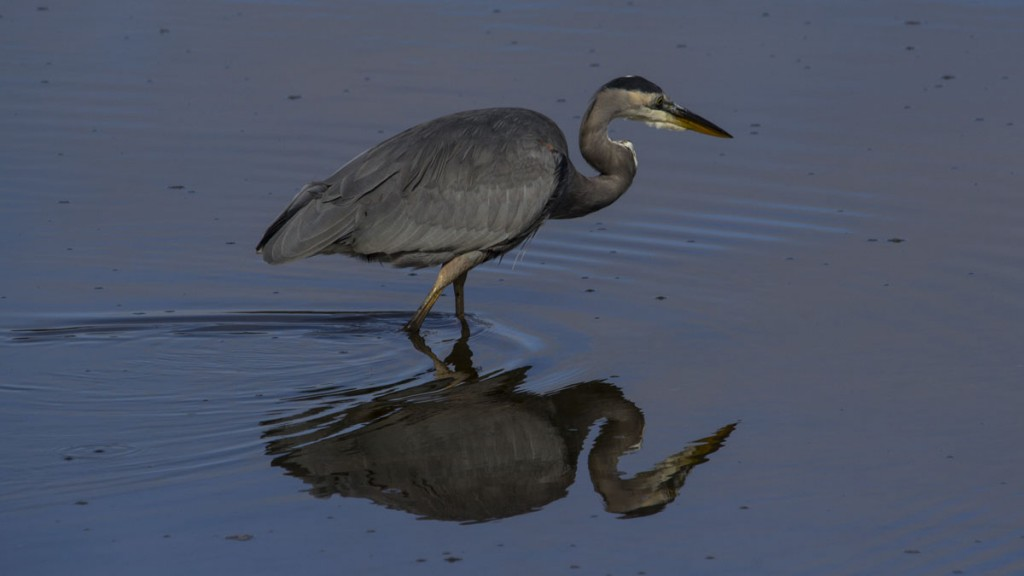 Great Blue Heron Hunting at Nisqually