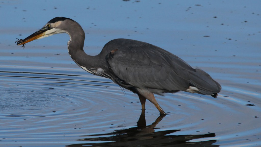 Great Blue Heron Catches a Crab at Nisqually