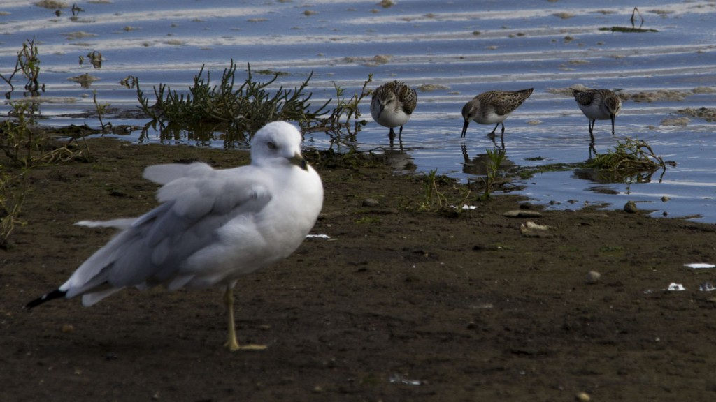 Seagull and Western Sandpipers on mud flats along Nisqually Boardwarlk