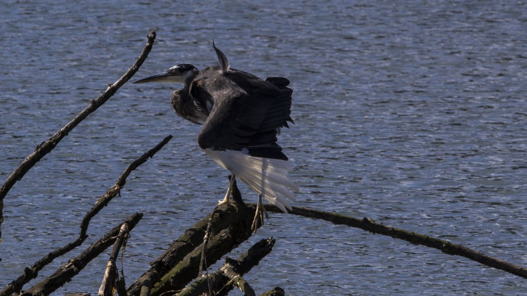 Great Blue Heron - Part Albino - Nisqually