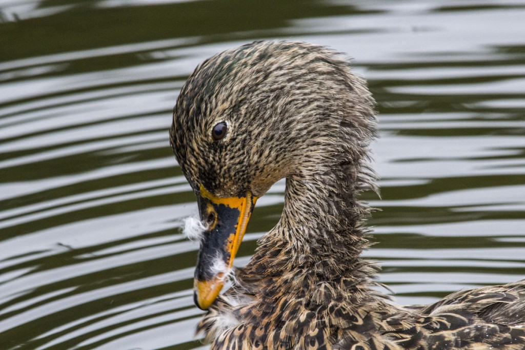 Female Mallard Duck Close-up
