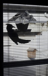 Stellar Jay at my Window Bird Feeder (silhouette image)
