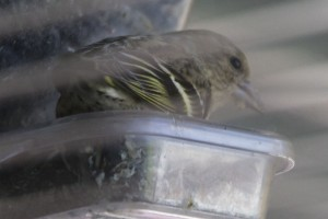 Pine Siskin at my Window Bird Feeder