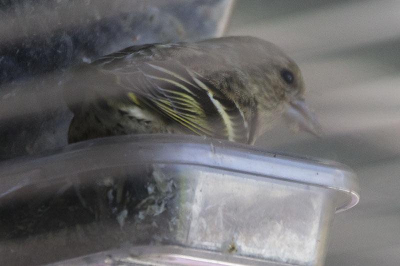 Pine Siskin at my Window Bird Feeder