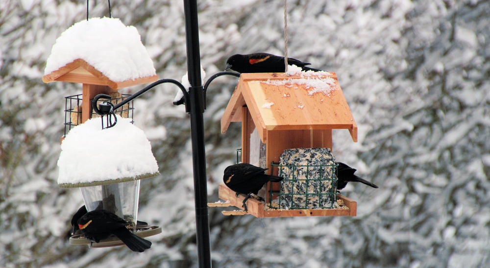 Red-Winged Blackbirds at my Other Feeders on a Snowy Winter Day