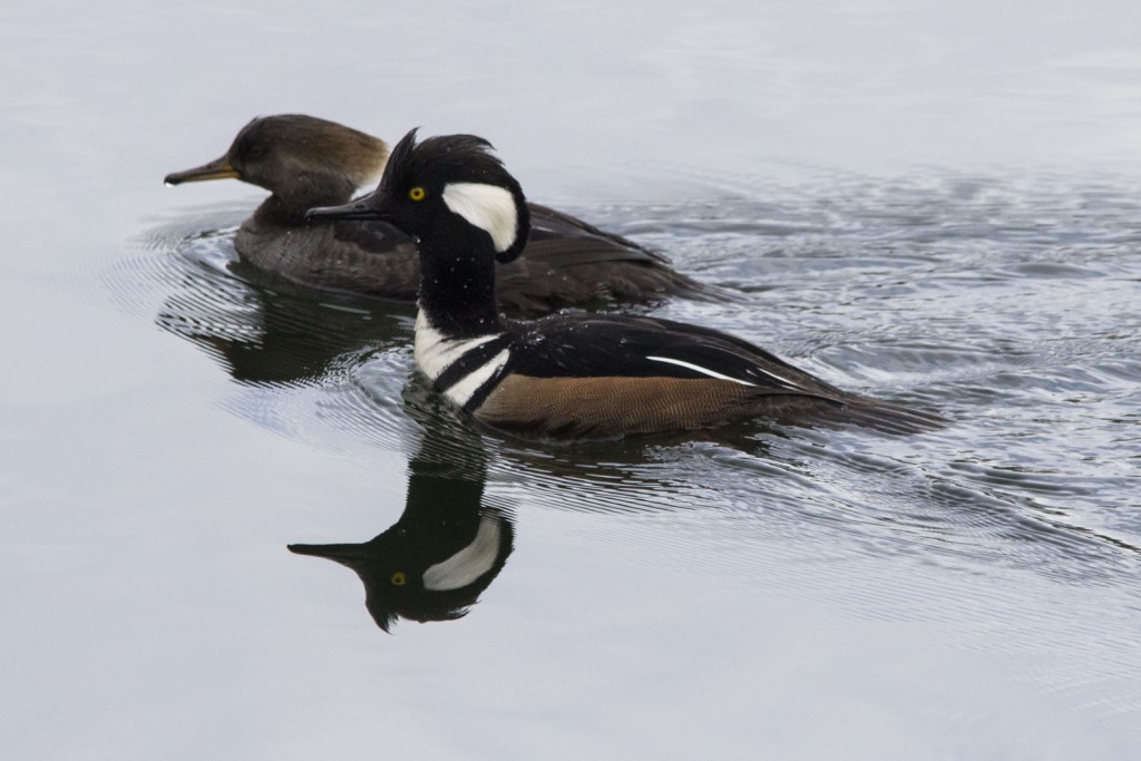 Hooded Mergansers in the Nisqually Visitor Center Pond