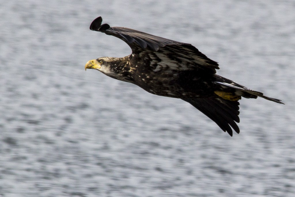 Immature Bald Eagle Flying