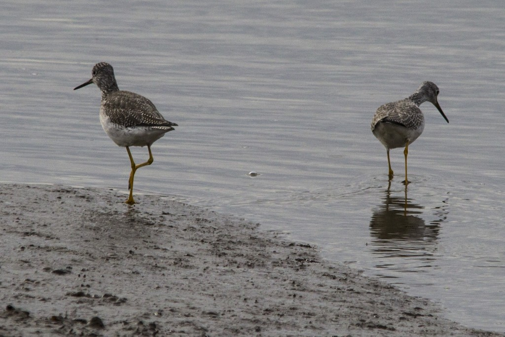 Greater Yellowlegs Pair