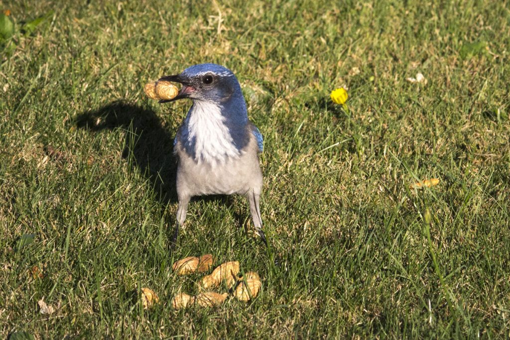 California Scrub Jay with Peanuts in Tacoma WA Backyard