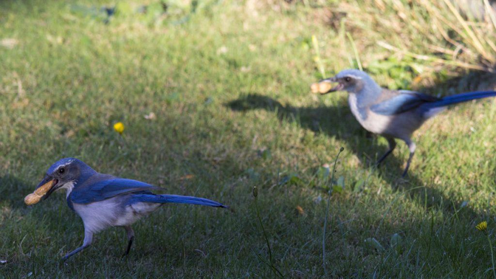 California Scrub Jay Foraging Peanuts