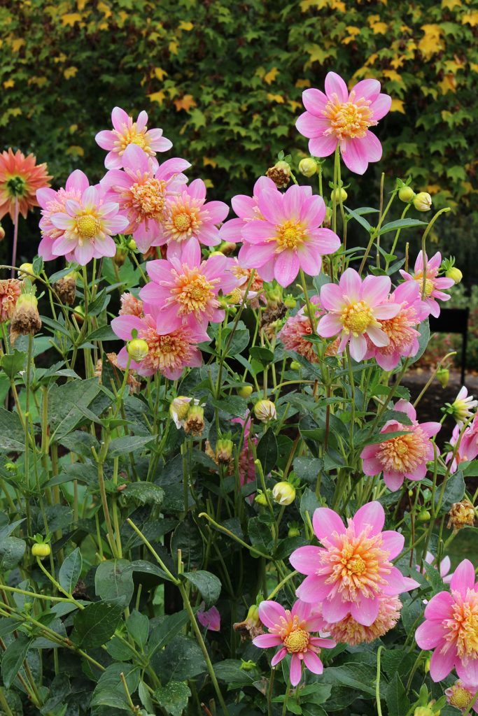 Dahlia Garden was beautiful in Autumn
