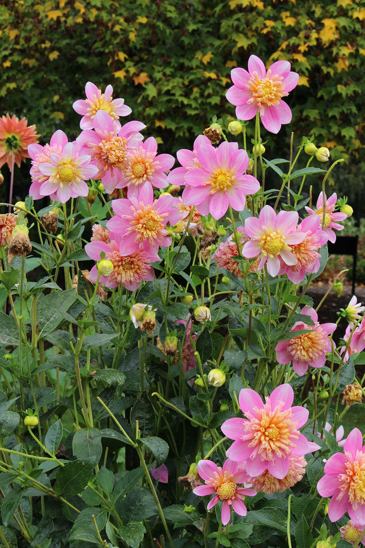 Dahlia Garden Was Beautiful In Autumn