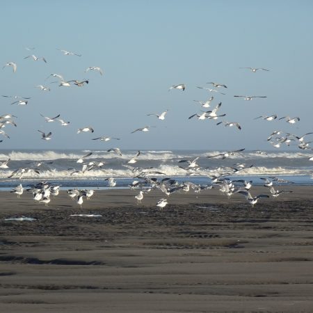 Gulls and Caspian Terns Flying Over the Ocean Shore During Low Tide