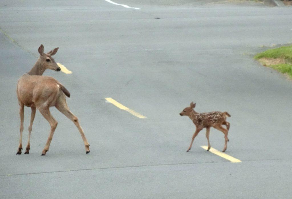 Baby deer and mom in street